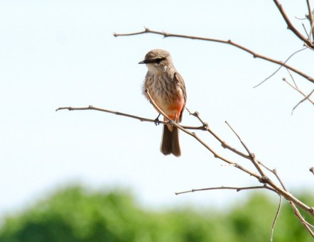 Vermillion Flycatcher1