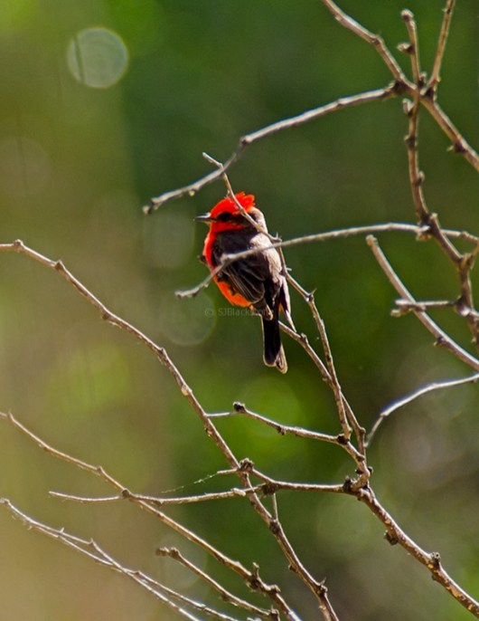 Vermillion Flycatcher2