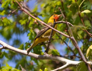 Western Tanager4