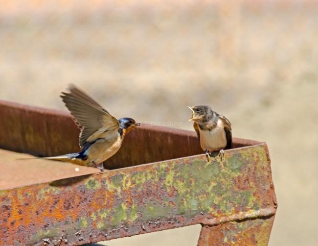 Barn Swallow Chicks02