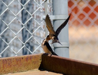 Barn Swallow Chicks04