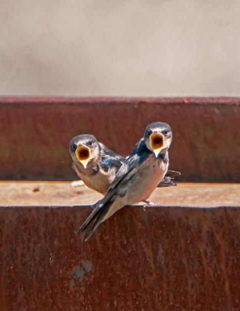 Barn Swallow Chicks06