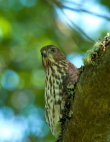 Juvenile Cooper's Hawk02