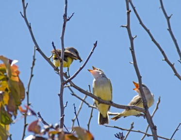 Western Kingbird Chicks01
