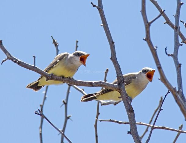 Western Kingbird Chicks04