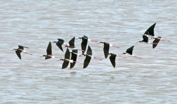 Black-Necked Stilts in Flight1