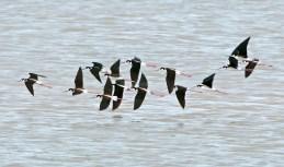 Black-Necked Stilts in Flight1