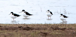 Black-Necked Stilts Hang Out