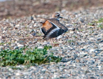 Killdeer Pretends a Broken Wing