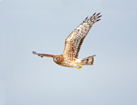 Northern Harrier Up Close1