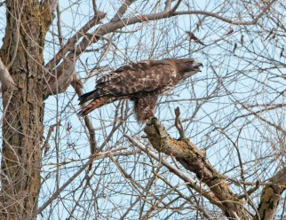 Red-Tailed Hawk on Perch