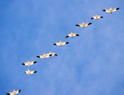 Snow Geese in Flight1
