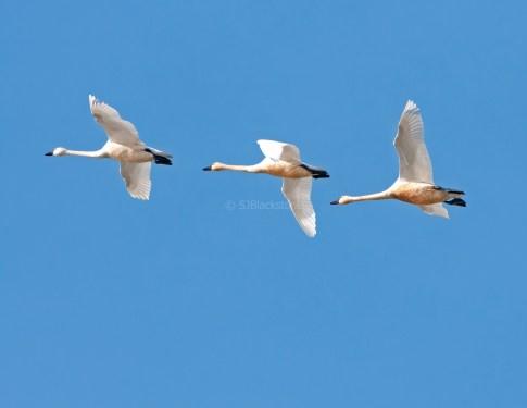 Tundra Swans Overhead