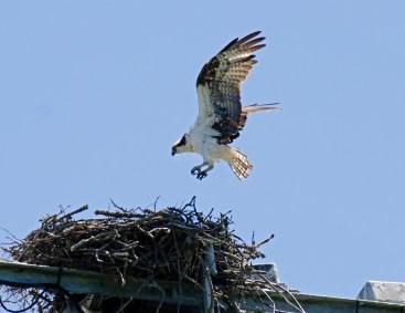 Female returns to the nest