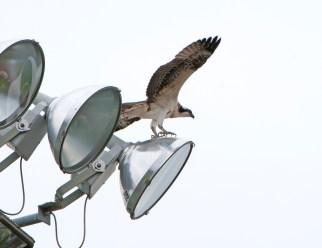 Newly fledged osprey on a slippery slope