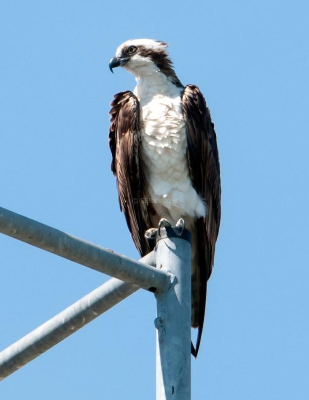 Male osprey taking a break