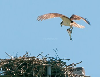 Male osprey brings another meal