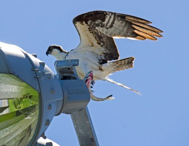 Male with salmon on a stadium light fixture
