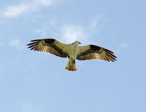 Osprey directly overhead