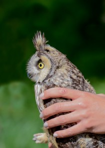 Long-Eared Owl 8