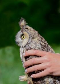 Long-Eared Owl 8