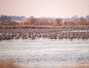 Sandhill Cranes Roosting in the Platte River