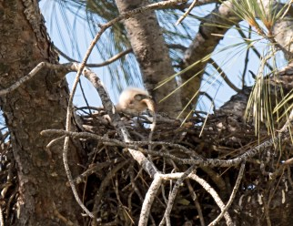 Red-Tailed Hawk Chick eating snake