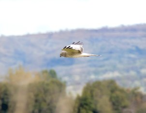 Male Northern Harrier1