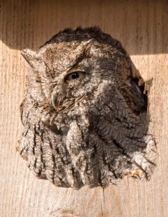 Neighborhood Screech Owl1