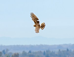 Northern Harrier in Flight2