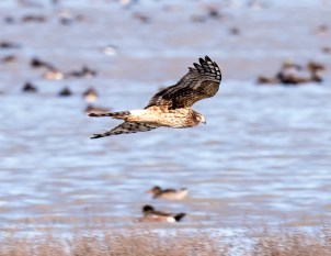 Northern Harrier5