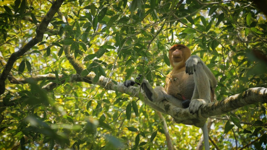 Bako National Park Proboscis Monkeys