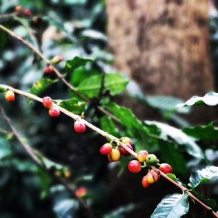 the coffee plant is RED !