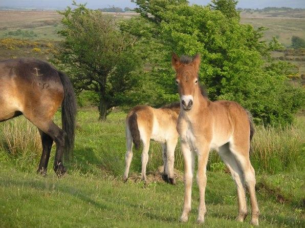 Exmoor Ponies (2)