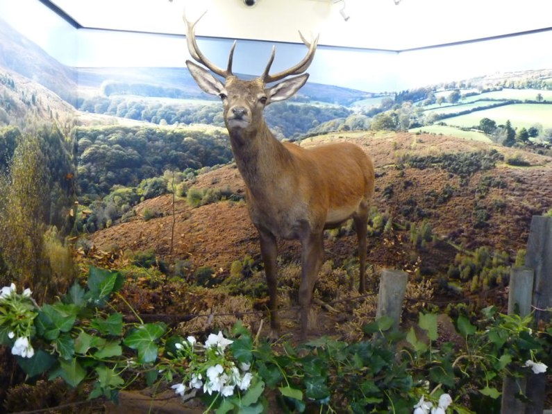 Red Deer Exhibition at Heritage Centre Dulverton