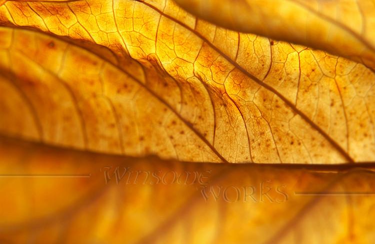 Dead Hydrangea macrophylla Leaf, Back-lit