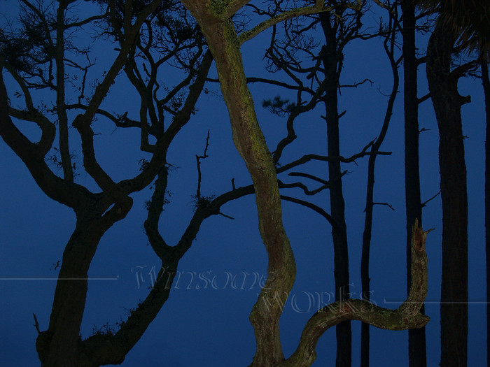 Twisted Trees in Twilight at Hunting Island State Park, SC
