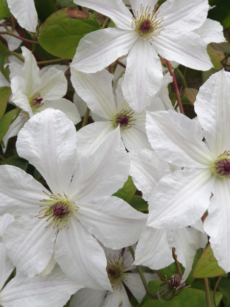 A healthy Clematis 'Forever Friends'