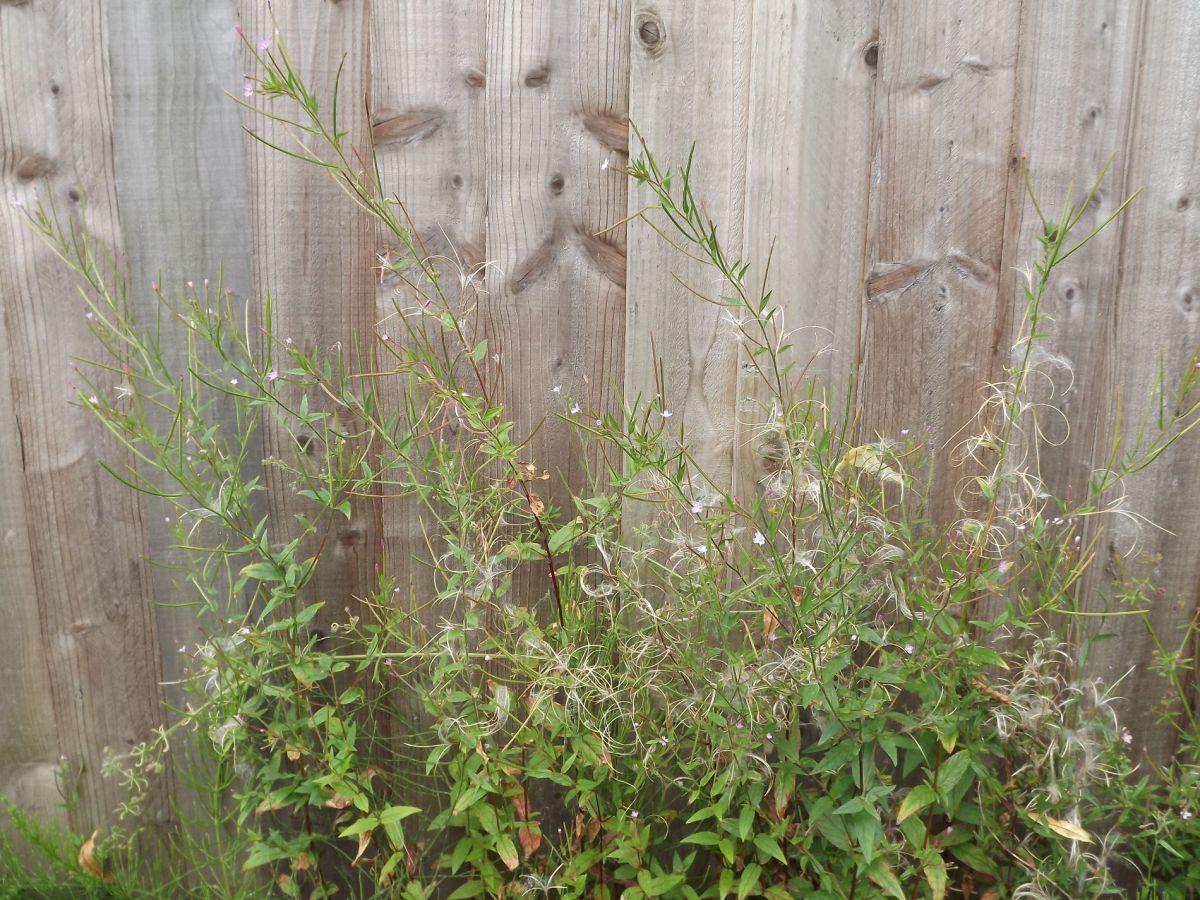 Epilobium, Winterbourne House and Garden, Digging for Dirt