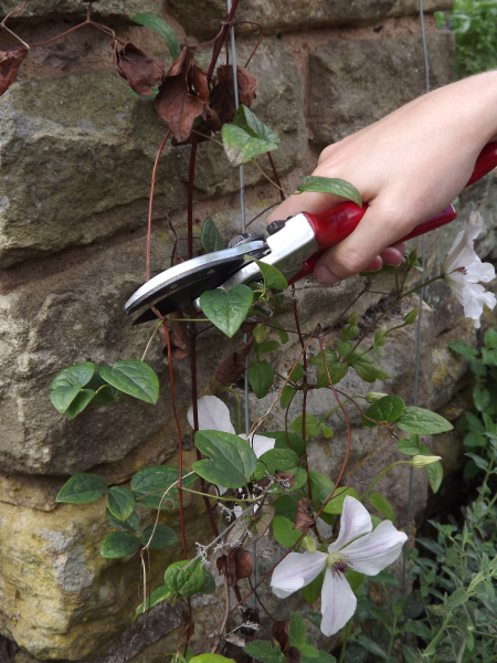 Prune wilted material back to healthy growth disinfecting secateurs after use