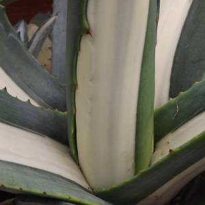 Agave, Winterbourne House and Garden, Digging for Dirt