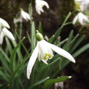 Galanthus nivalis, WInterbourne House and Garden, Digging for Dirt