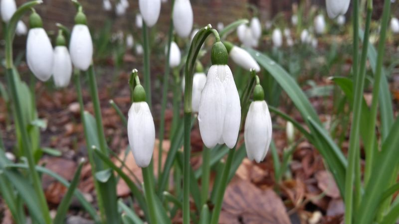 Galanthus nivalis, photograph by Andy Gee