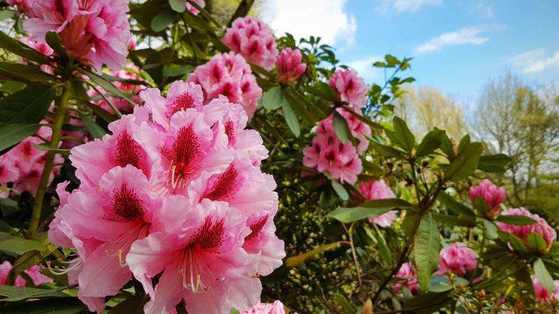 Rhododendron, photograph by Chris Howell, Winterbourne House and Garden, Digging for Dirt