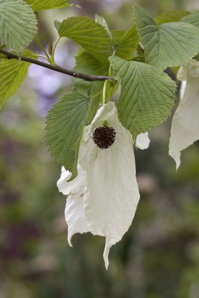 Davidia involucrata, photograph by Jenny Lilly, Winterbourne House and Garden, Digging for Dirt