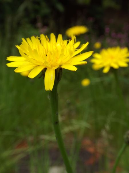 Dandelion, The Comedy of Errors, Winterbourne House and Garden, Digging for Dirt