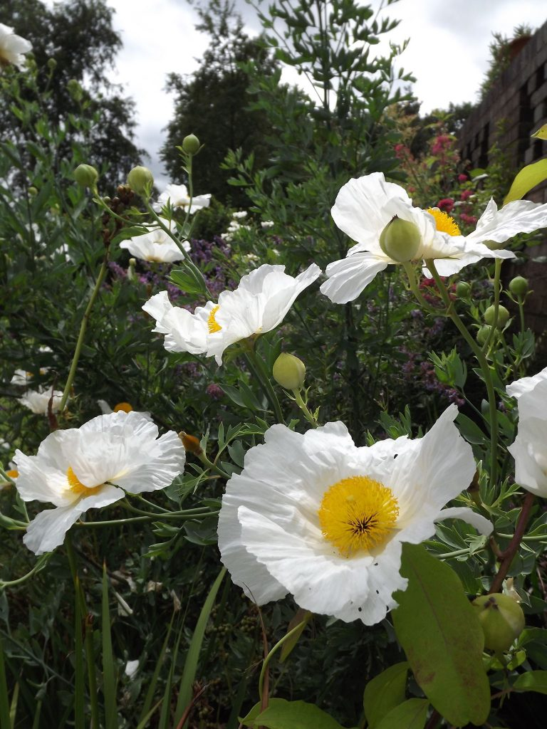 Californian tree poppy, Winterbourne House and Garden, Digging for Dirt