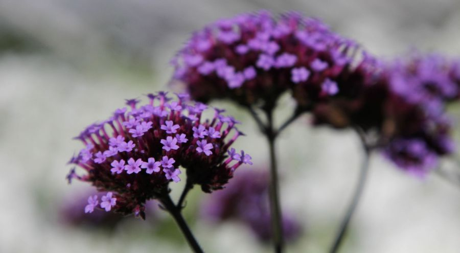 Verbena bonariensis, photograph by Alice Whitehouse, Digging for Dirt, Winterbourne House and Garden