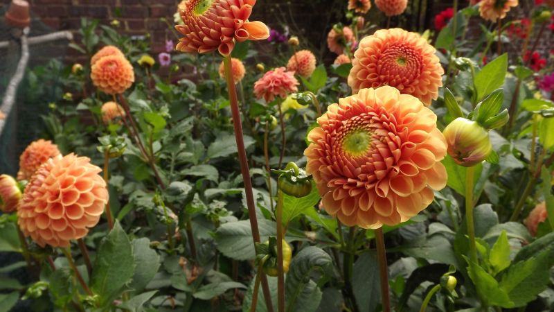 Dahlia 'Amberglow', photograph by Eleanor Hill, Now and Then, Winterbourne House and Garden, Digging for Dirt