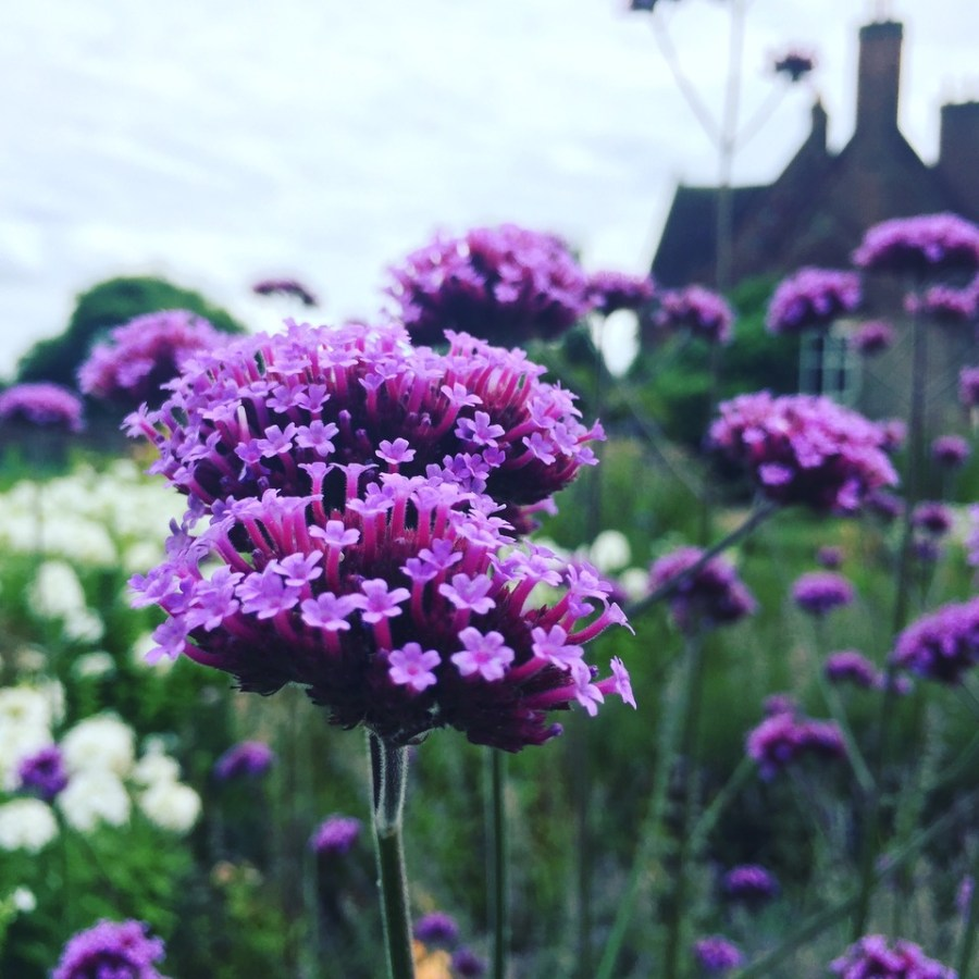 Verbena bonariensis in the Walled Garden, photograph by Paul Martin, career change, Winterbourne House and Garden, Digging for Dirt